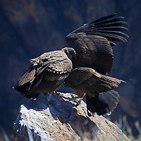 South America, Peru, Colca Canyon. Jeuvenile Andean Condors.