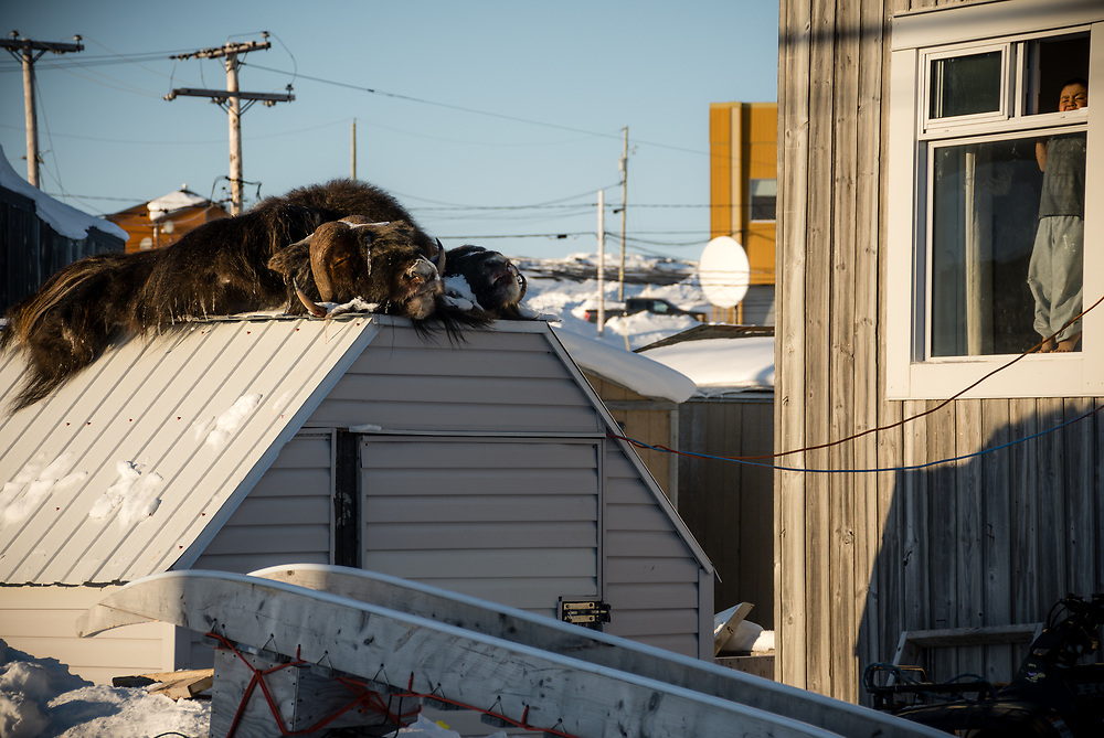 Muskox skin on a shed.