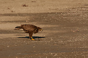 Common buzzard (Buteo buteo) feeding on a fish..This bird of prey is found throughout Europe and parts of Asia, inhabiting open areas, such as farmland and moors, and wooded hills. It grows up to 50 centimetres in length and feeds on small birds, mammals and carrion. Photographed in Israel in February
