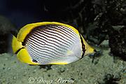 black-backed butterflyfish,<br /> Chaetodon melanotus, Great Barrier Reef, <br /> Australia ( Western Pacific Ocean )