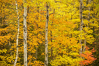 Peak color forest scene in the White Mountains, New Hampshire