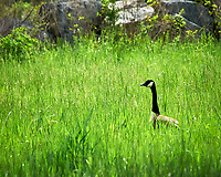 Canada Goose. Sourland Mountain Preserve. Image taken with a Nikon D300 camera and 80-400 mm VR lens.