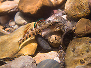 Coosa Darter<br /> <br /> Bryce Gibson/Engbretson Underwater Photography