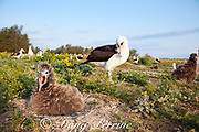 Laysan albatrosses, Phoebastria immutabilis, with hungry chick calling in foreground, Sand Island, Midway Atoll, Midway National Wildlife Refuge, Papahanaumokuakea Marine National Monument, Northwest Hawaiian Islands, USA ( North Pacific Ocean )