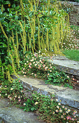 Itea ilicifolia with Erigeron karvinskianus growing in the circular steps at Great Dixter. Mexican daisy