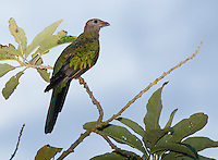 Female Golden-headed Quetzal, Pharomachrus auriceps, perched on a branch in Tandayapa Valley, Ecuador