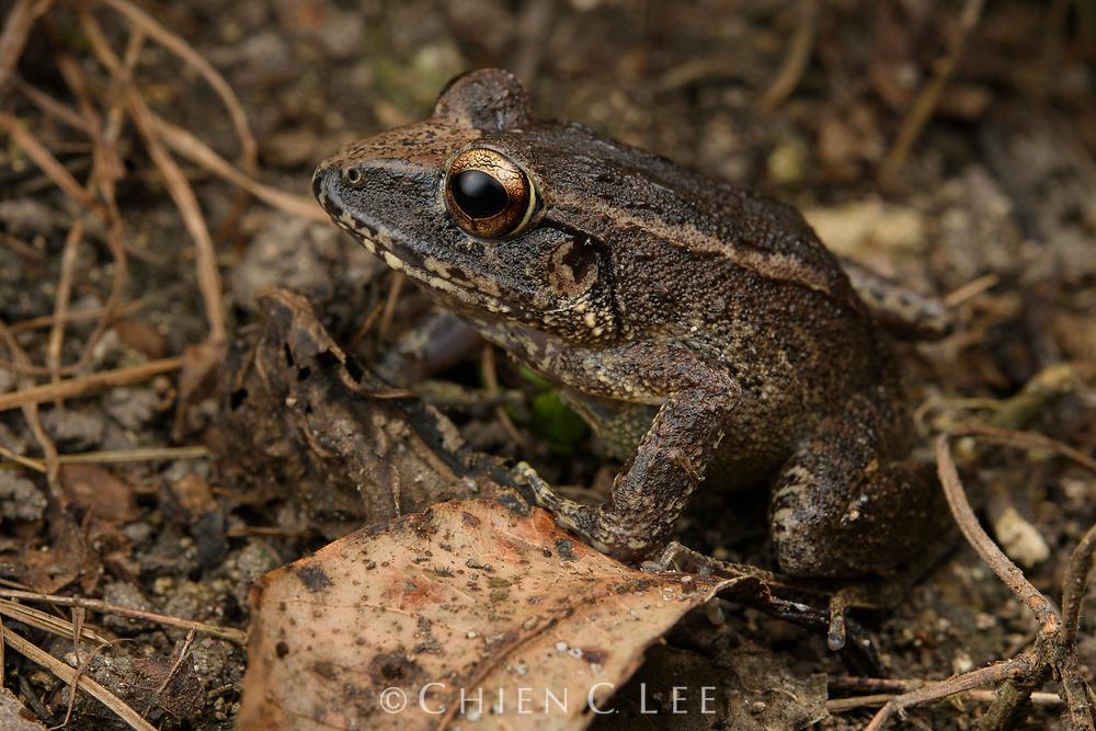Papua Wrinkled Ground Frog (Cornufer papuensis). Papua, Indonesia (New Guinea).