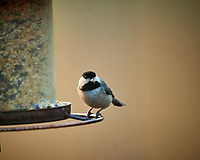 Black-capped Chickadee. Image taken with a Nikon D5 camera and 600 mm f/4 lens (ISO 1600, 600 mm, f/4, 1/250 sec)