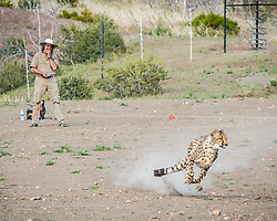 May 28, 2017 - Reno, Nevada, U.S - May 28, 2017.Animal Ark co-founder, AARON HIIBEL, controls a lure during the Cheetah 500 Race, a fundraiser for the Reno-based non-profit organization. During the event, cheetahs, the worldÃ•s fastest land mammal, chase robotic lures completely off leash around the Animal Ark run field. The organization is located north of Reno on thirty-eight acres and primarily features native North American predators...Co-founded by Aaron and Diana Hiibel in 1981, Animal Ark is a wildlife sanctuary for non-releasable animals. The organization provides a home,Êfor life,Êfor animals that do not have the skills to survive in the wild. (Credit Image: © Tracy Barbutes via ZUMA Wire)