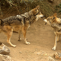 North America, Americas, USA, United States, Arizona. Pair of Mexican Gray Wolves at the Arizona-Sonora Desert Museum.