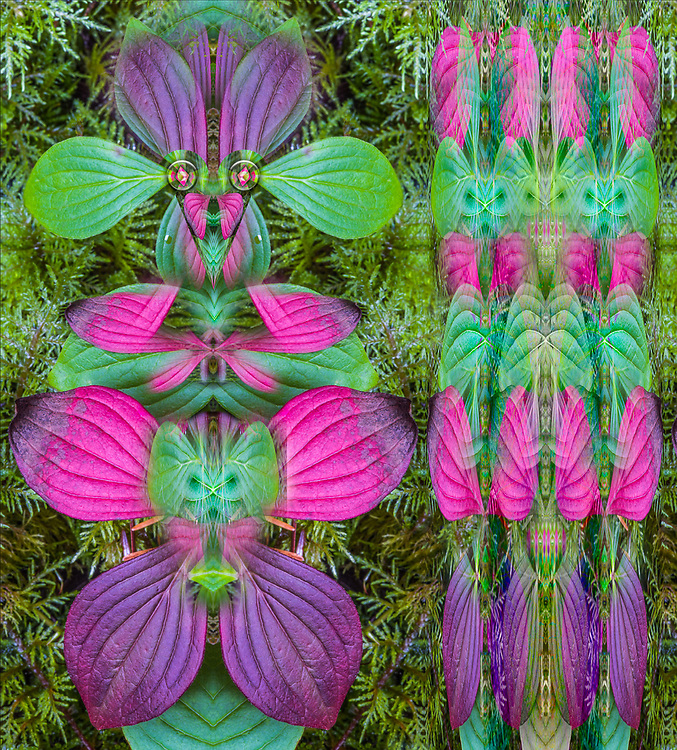 """""""Bunchberry Family"""", derivative image created from a photo of bunchberry leaves and moss, forest floor, October, Olympic National Park, Washington, USA"""