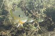 Bluegill<br /> <br /> Roger Peterson/Engbretson Underwater Photography