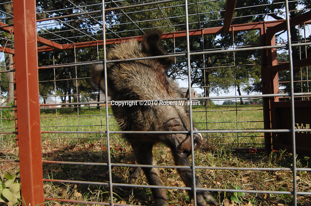 A 100-lb., wild hog in a trap near Santa Anita Blvd., at 10 a.m. on Monday morning October 25, 2010, in south Irving, Texas. Residents in the area requested the traps from Irving Animal Control after several wild hogs destroyed yards in the residential area.