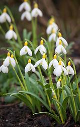 Galanthus 'Spindlestone Surprise'. Snowdrop