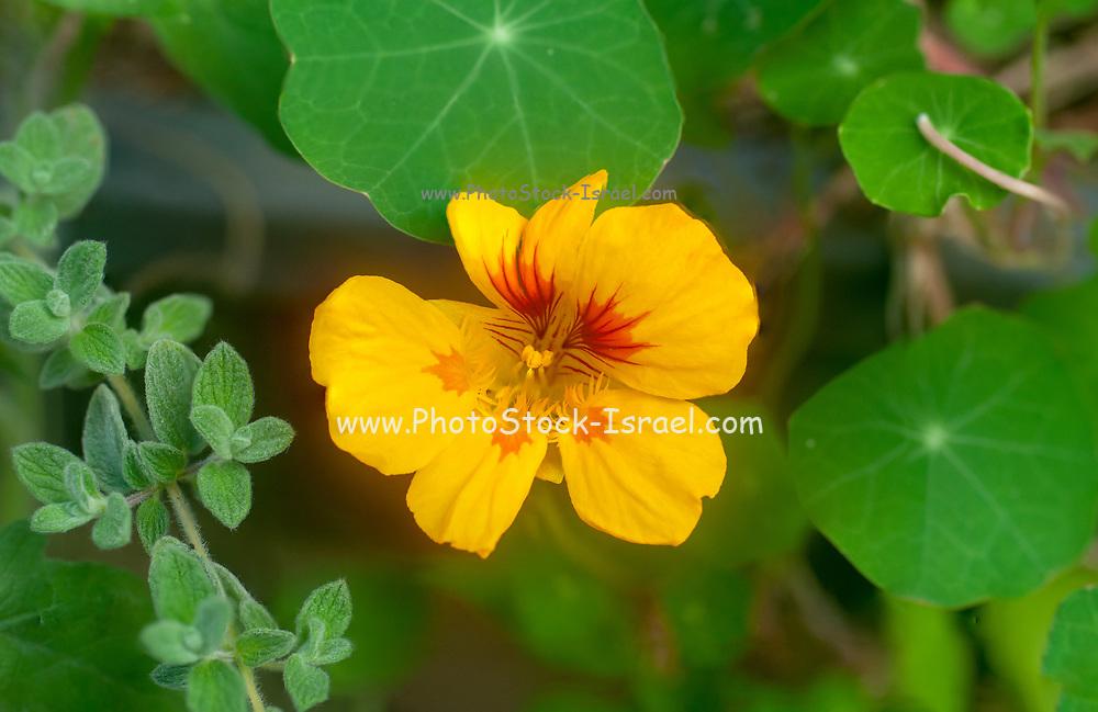 Close up of a Flowering Tropaeolum majus (garden nasturtium, Indian cress or monks cress)