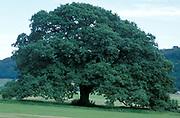 Oak tree in Summer, Quercus robur, full green leaves, season sequence