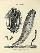 Holothuria [sea cucumbers] Holothuri Elegans and Priapus Copperplate engraving by J. Chapman. From the Encyclopaedia Londinensis or, Universal dictionary of arts, sciences, and literature; Volume X;  Edited by Wilkes, John. Published in London in 1811