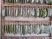 Cochineal insects on nopal cactus in the natural dyes studio of Porfirio Gutierrez and family in the Zapotec village of Teotitlan del Valle, Oaxaca, Mexico on 24 November 2018. Cochineal is a parasitic insect native to Mexico which lives on the leaves of the prickly pear plant. When ready to harvest, the insects are gently dusted off and left to dry before being ground to crimson dust. In Teotitlan cochineal is still ground by hand on stone metates and used as a natural dye for yarn