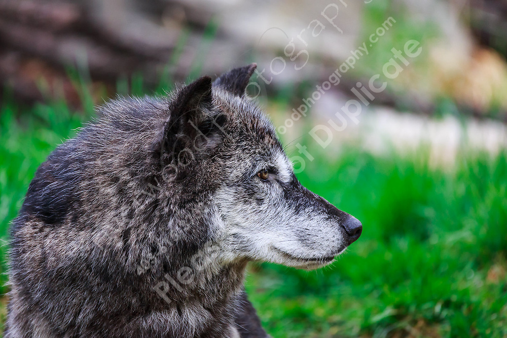 Travel photography on a cloudy spring day at the Calgary Zoo<br /> <br /> ©2016, Sean Phillips<br /> http://www.RiverwoodPhotography.com