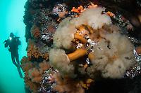 Plumose anemone, Metridium senile, and Klas Malmberg.Atlantic marine life, Saltstraumen, Bodö, Norway.Model release by photographer