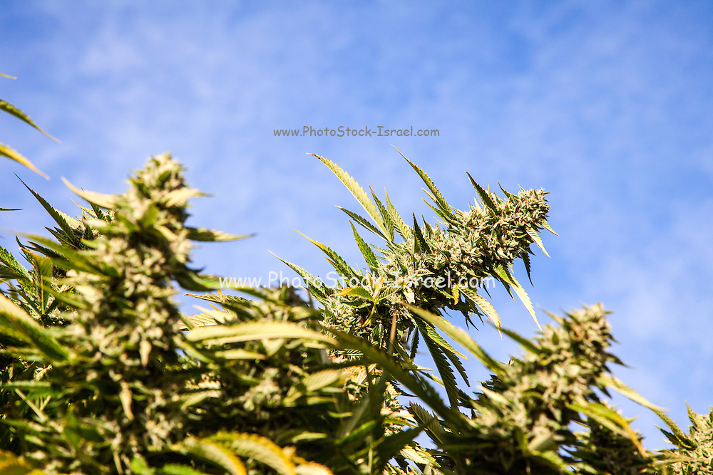 Cannabis flower (Cannabis sativa). Cannabis contains a group of chemicals called cannabinoids, which produce a relaxing narcotic effect when consumed. Although it is illegal in many countries, cannabis can be taken medicinally for many illnesses. It is considered an excellent pain reliever for certain illnesses including cancer, AIDS, multiple sclerosis and arthritis.