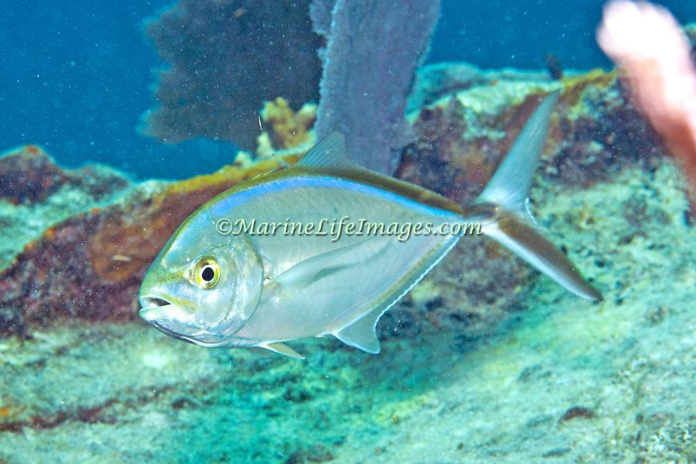 Ba Jack inhabit open water in Tropical West Atlantic; picture taken Key Largo, FL.