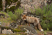 Red Fox (Vulpes vulpes)<br /> Sierra de Andújar Natural Park, Mediterranean woodland of Sierra Morena, north east Jaén Province, Andalusia. SPAIN<br /> <br /> Mission: Iberian Lynx, May 2009<br /> © Pete Oxford / Wild Wonders of Europe<br /> Zaldumbide #506 y Toledo<br /> La Floresta, Quito. ECUADOR<br /> South America<br /> Tel: 593-2-2226958<br /> e-mail: pete@peteoxford.com<br /> www.peteoxford.com