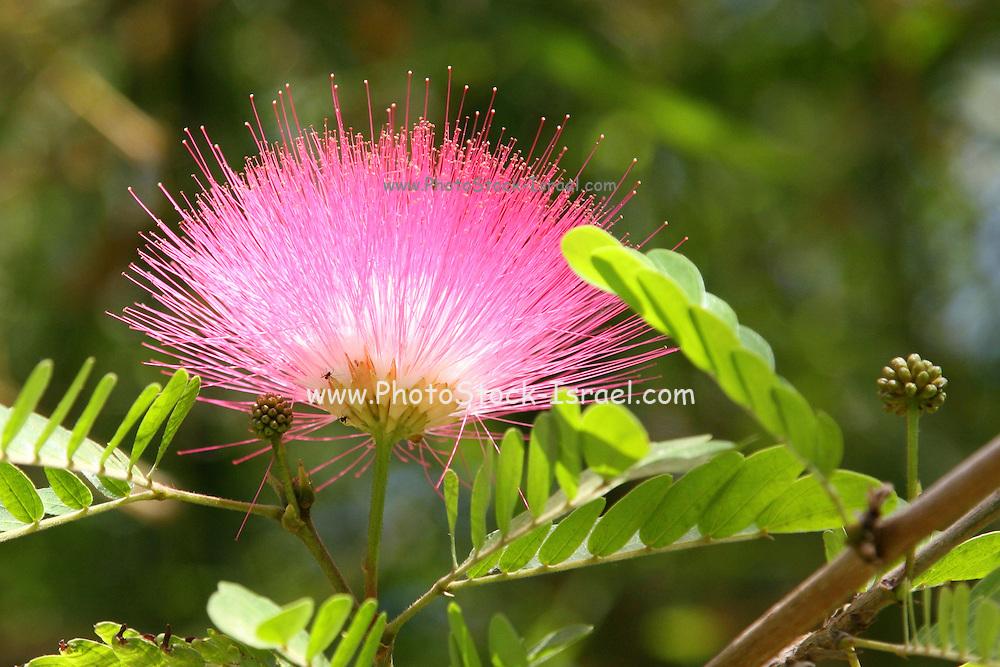 Pink Calliandra AKA Powder-puff, Powder puff Plant and Fairy Duster.