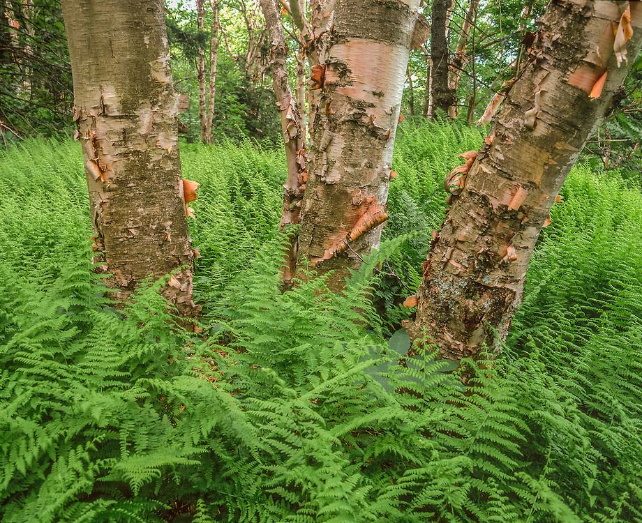 Ferns grow at the base of three birch tree trunks, detail shot, summer, Windsor, VT