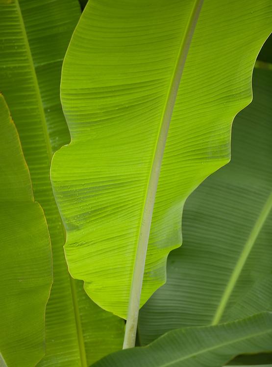 Mai`a Banana leaf backlit.  Closeup detail.  Some raindrops.  Painterly.