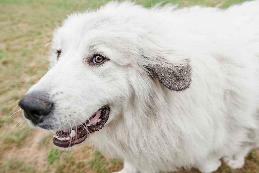 Close up of a running Great Pyrenees