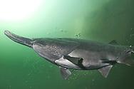 Paddlefish<br /> <br /> Viktor Vrbovsky/Engbretson Underwater Photography