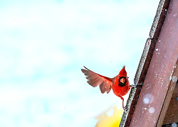A male Norther Cardinal tries to balance on the side of my swing and hold on.