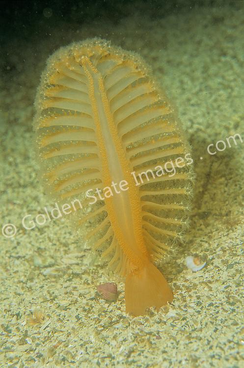 British Columbia<br /> <br /> Species: Ptilosarcus gurneyi