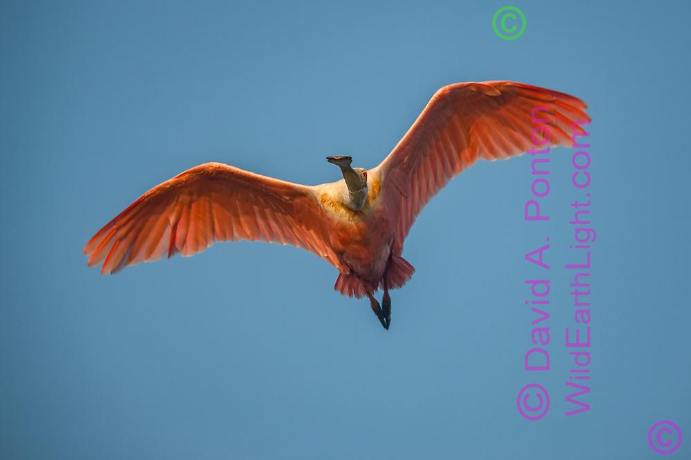 Roseate spoonbill flying toward observer, © David A. Ponton