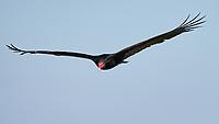 Turkey Vulture (Cathartes aura) in flight. Merritt Island National Wildlife Refuge, Merritt Island, Florida. Image taken with a Nikon D4 camera and 500 mm f/4 VR lens.