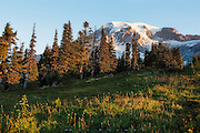 Mount Rainier National Park, Washington.  <br />         Above the visitor center at the Paradise sector of Mount Rainier, a web of trails leads you upwards, through beautiful subalpine meadows to various vistas overlooking glaciers, waterfalls, and of course, the mountain. The mountains give way to gravel, rock and snowfields eventually, and the trails themselves come together a ways above here into one route that climbers use to attain Muir Camp before they summit.  On this morning, sunlight was pouring across this little meadow just below the treeline, lighting the spent flower stalks and still green grasses of autumn below the mountain.