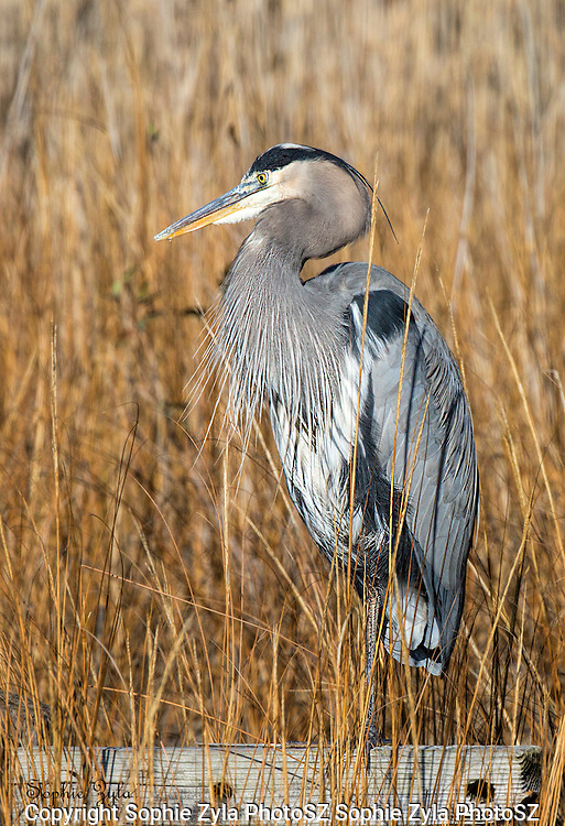 The intent gaze of a Great Blue Heron.