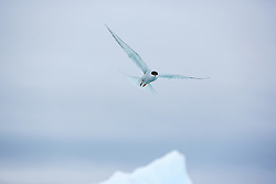 Arctic Tern (Sterna paradisaea) in flight, Svalbard
