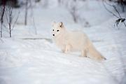 Arctic fox standing in snowy landscape.