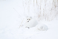 01863-01514 Arctic Foxes (Alopex lagopus) curled up along bank in snow Churchill Wildlife Management Area, Churchill, MB