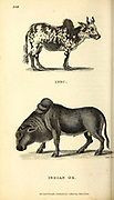 Zebu and Indian Ox from General zoology, or, Systematic natural history Vol II Part 2 Mammalia, by Shaw, George, 1751-1813; Stephens, James Francis, 1792-1853; Heath, Charles, 1785-1848, engraver; Griffith, Mrs., engraver; Chappelow. Copperplate Printed in London in 1801 by G. Kearsley