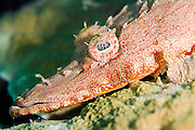 A crocodile fish lies in wait for passing prey on a Papua New Guinea coral reef.  Crocodile fish are often ornately designed and coloured