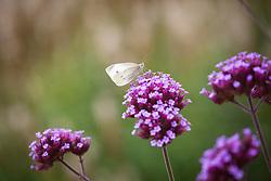 Small White Butterfly (Pieris rapae) on Verbena bonariensis. (Cabbage white)