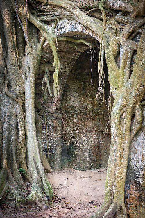 Archway hidden by overgrown roots in the old citadel of Son Tay, Vietnam, Southeast Asia