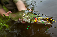 fly caught musky, tributary of lake champlain