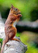 Eurasian red squirrel (Sciurus vulgaris) feeding on a nut.