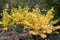 Cornus sanguinea 'Magic Flame' in autumn colouring