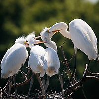 Ardea alba, Smith Oaks Rookery, High Island, Texas