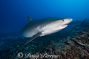 large female tiger shark, Galeocerdo cuvier, with crooked jaw likely from fishing interaction, and a remora or sharksucker on its belly, Honokohau, Kona, Big Island, Hawaii, USA ( Central Pacific Ocean )